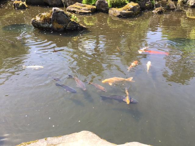 鯉が居る池