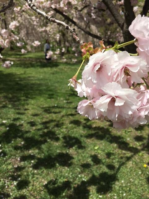 さくら園の桜
